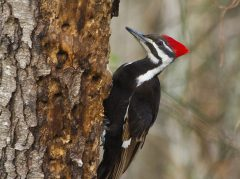By Shenandoah National Park from Virginia (Pileated Woodpecker) [CC BY 2.0], via Wikimedia Commons